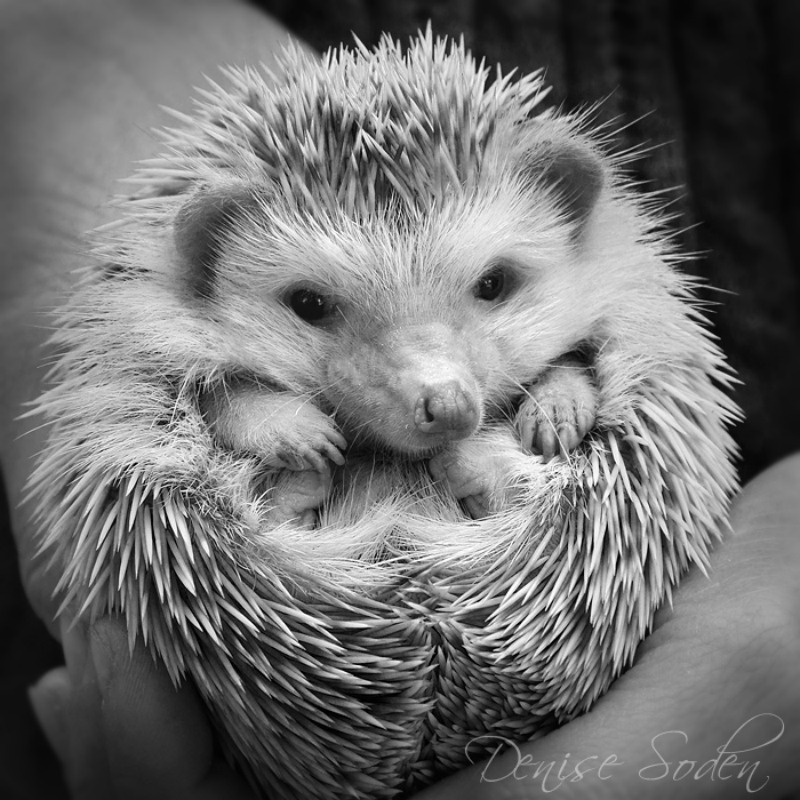 hedgehog by Denise Soden